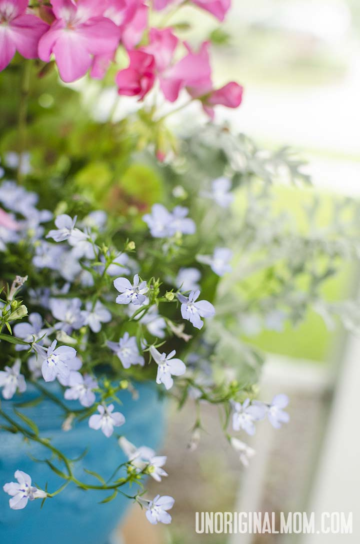 Pink geranium, dusty miller, and blue lobelia in an aqua pot.